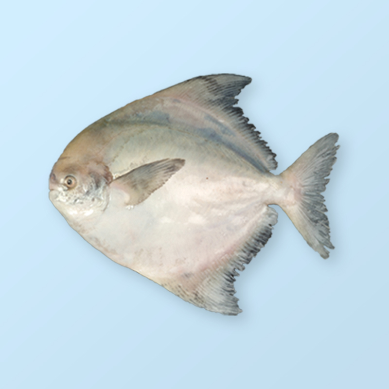 Chinese Pomfret (Chinese Silver Pomfret)